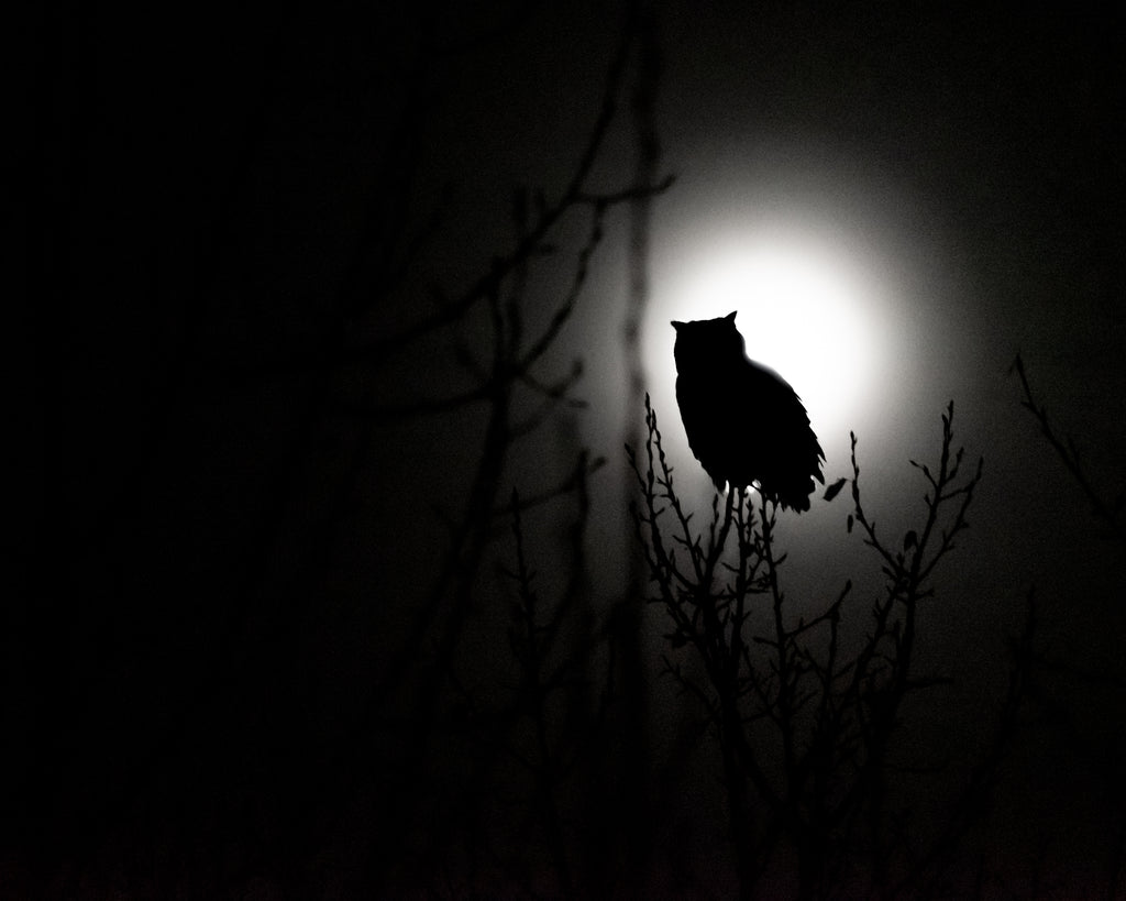 Great horned owl silhouetted against full moon at night. Wildlife photography.