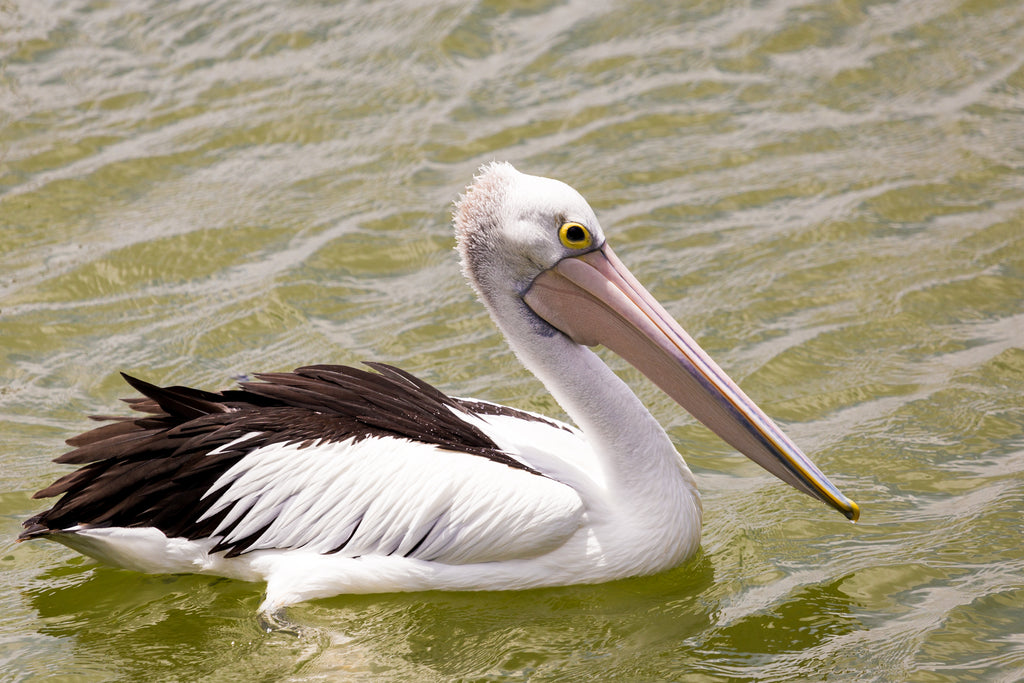 Australian pelican swimming