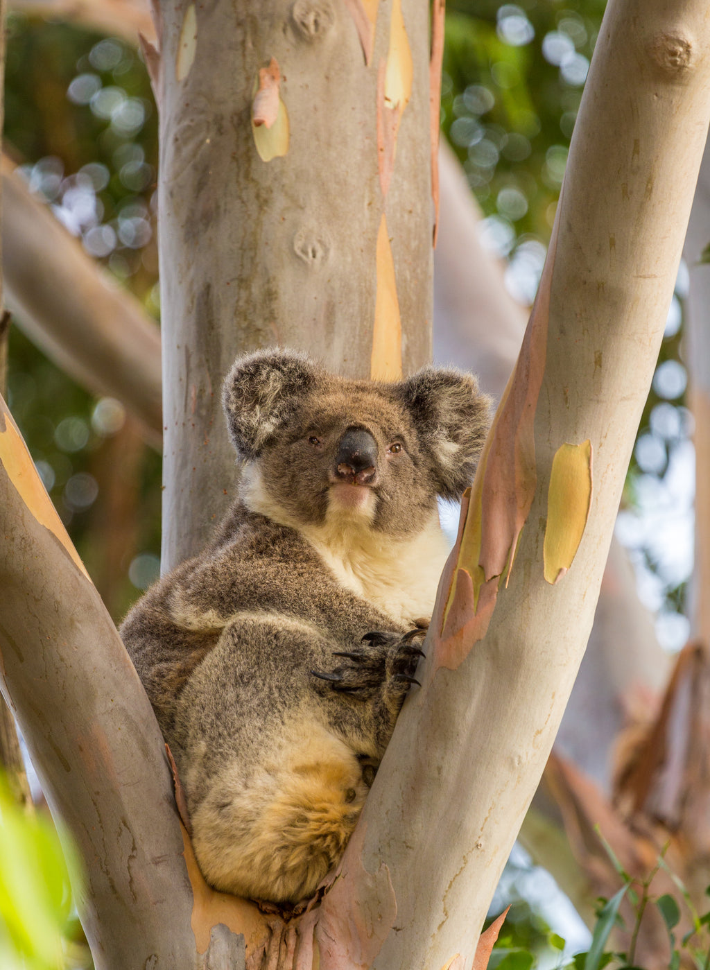Koala in eucalyptus tree, Kangaroo Island Australia, wildlife travel photography