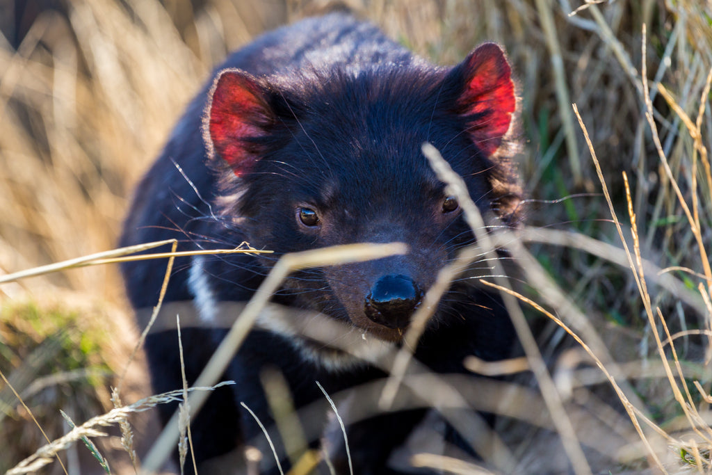 Tasmanian Devil, Trowunna Wildlife Sanctuary