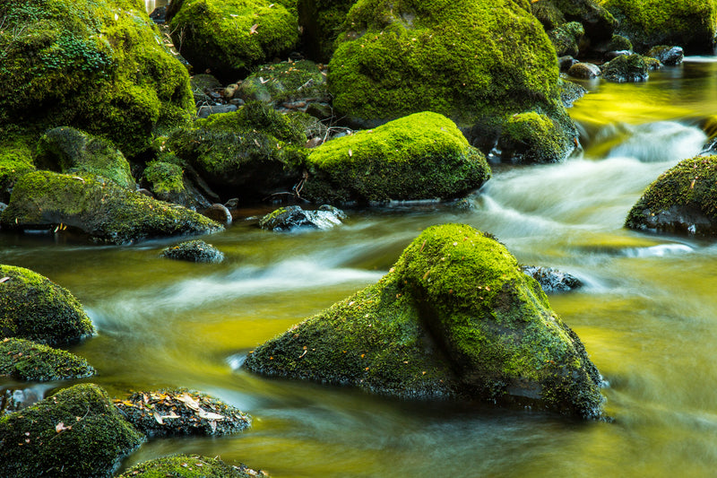Smooth water flows past moss covered boulders in the Bird River, Tasmania
