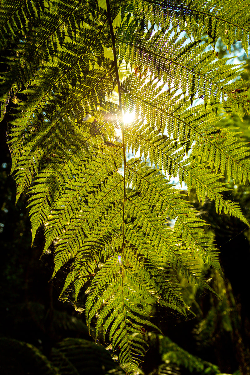 Sunlight filtering through fern leaf, Tasmania Australia