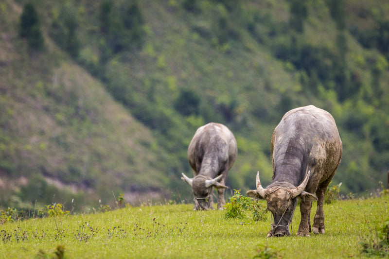 Water buffalo, Lake Toba, Indonesia, Wildlife and Travel Photography