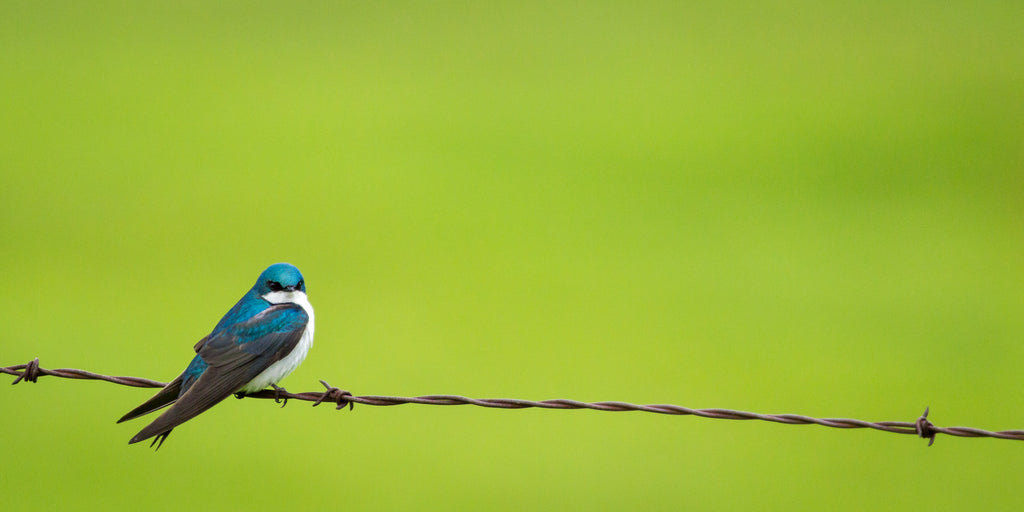 Male tree swallow in bright blue spring plumage rests on a barbed wire with vibrant green background