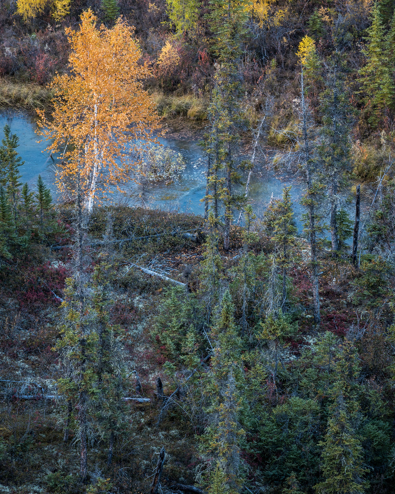 Yellow birch tree in fall colours surrounded by spruce bog near Norman Wells, Northwest Territories.
