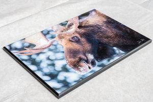 Bull moose wildlife wall art