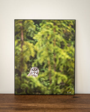 Great grey owl photography wall art