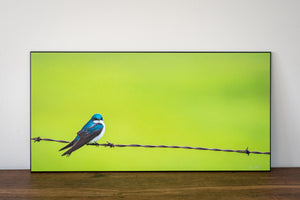Tree swallow on barbed wire wall art sample photo