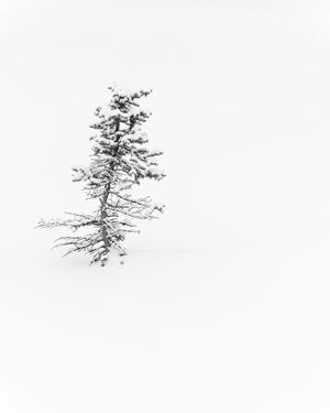 spruce tree in snow, minimalist black and white photo, Banff National Park, landscape photography