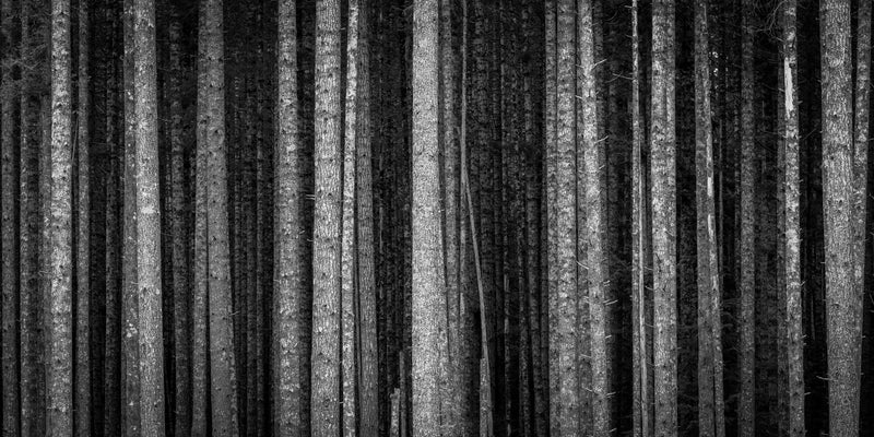 Black and white forest, parallel tree trunks, Quadra Island