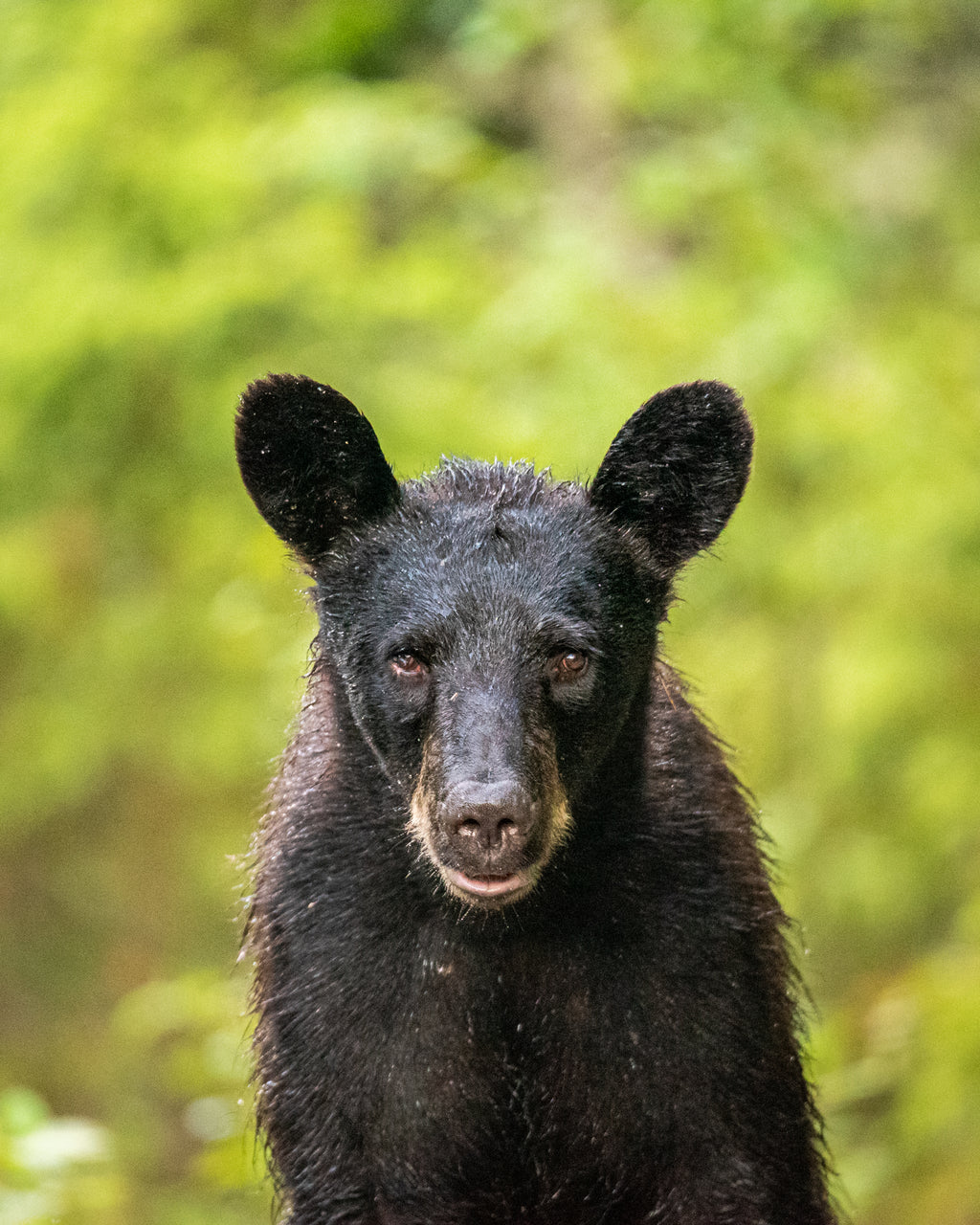 Young curious black bear near Cold Lake, Alberta.