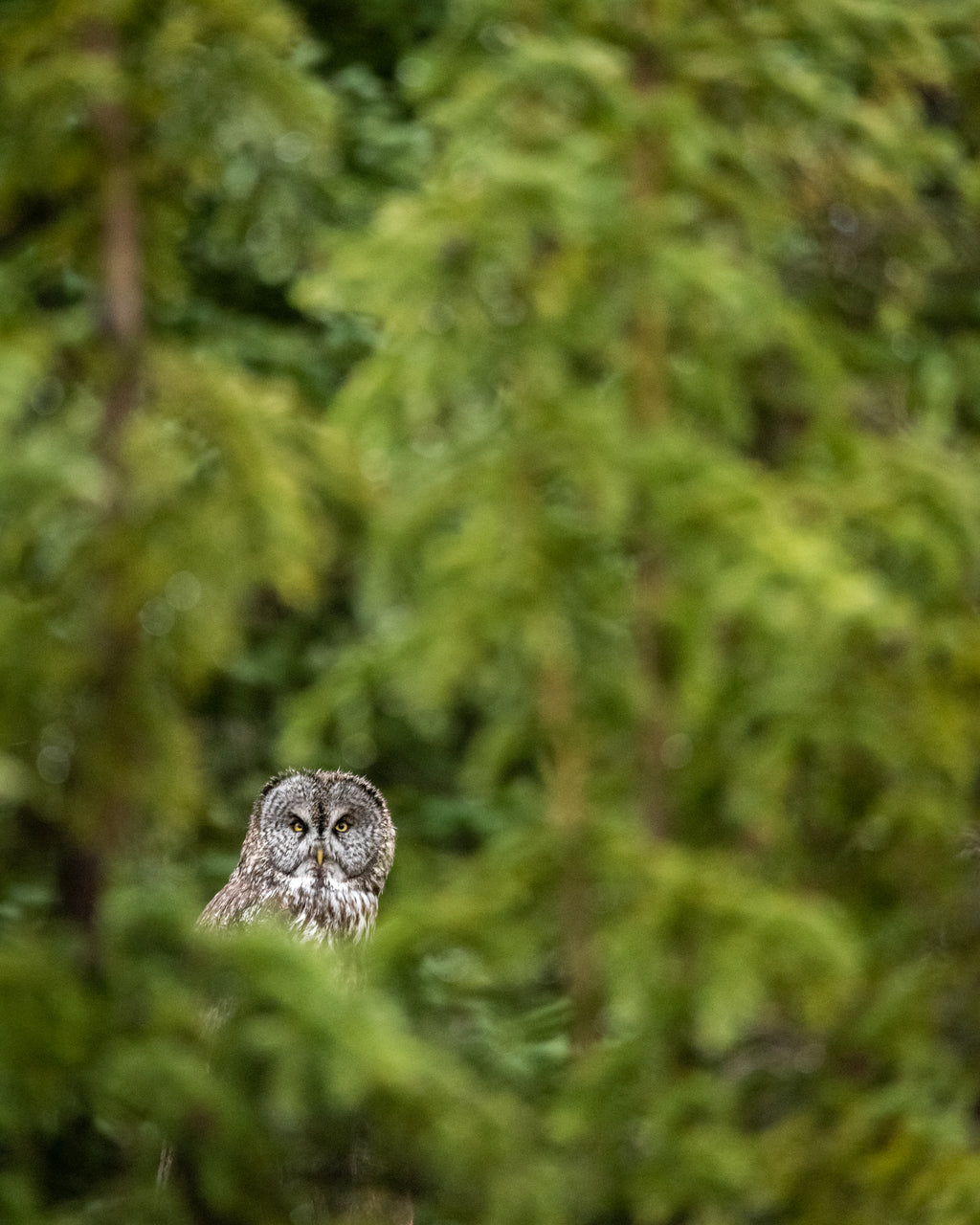 Great grey owl peers through spruce trees during a rainstorm