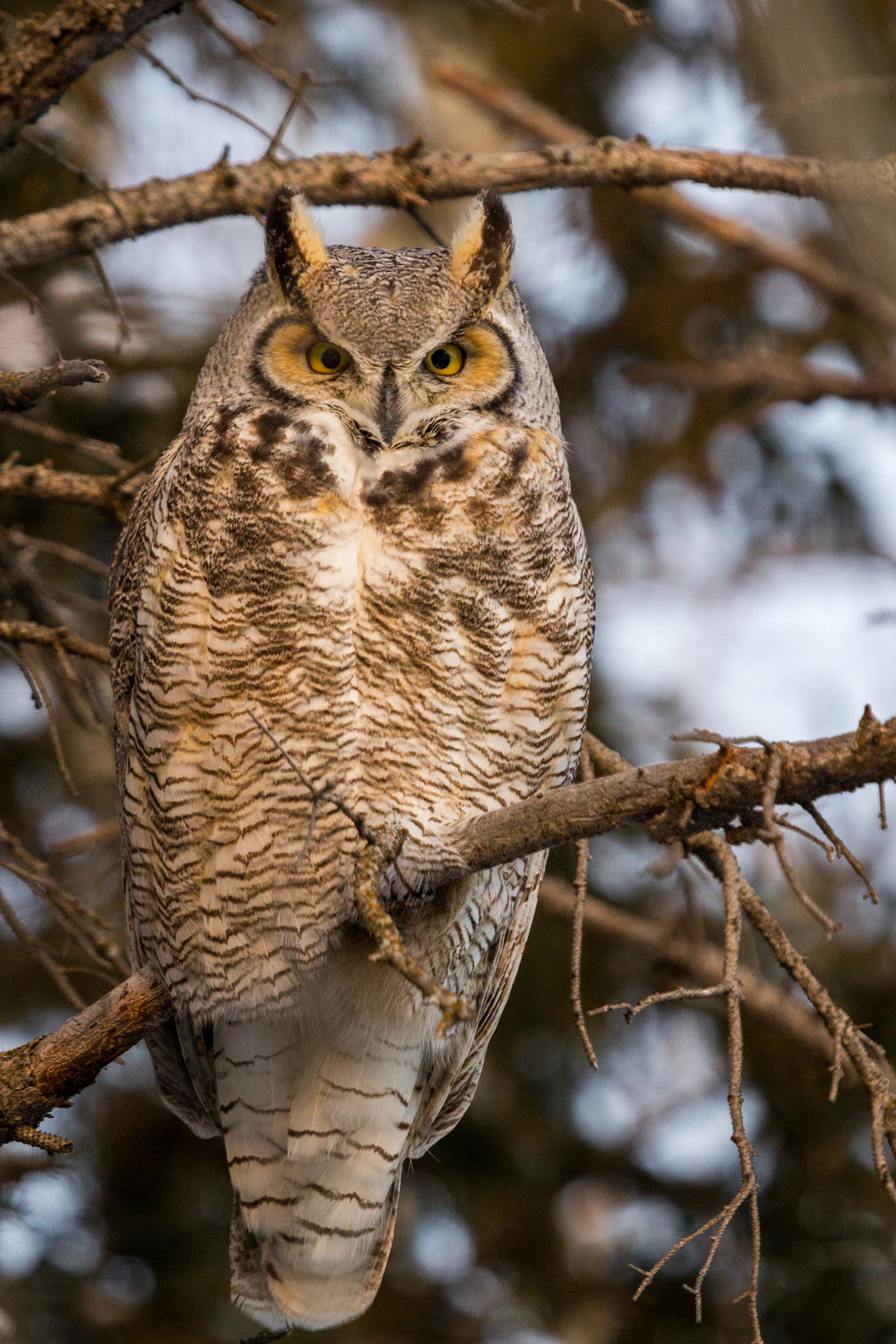 Great horned owl, Alberta wildlife photography