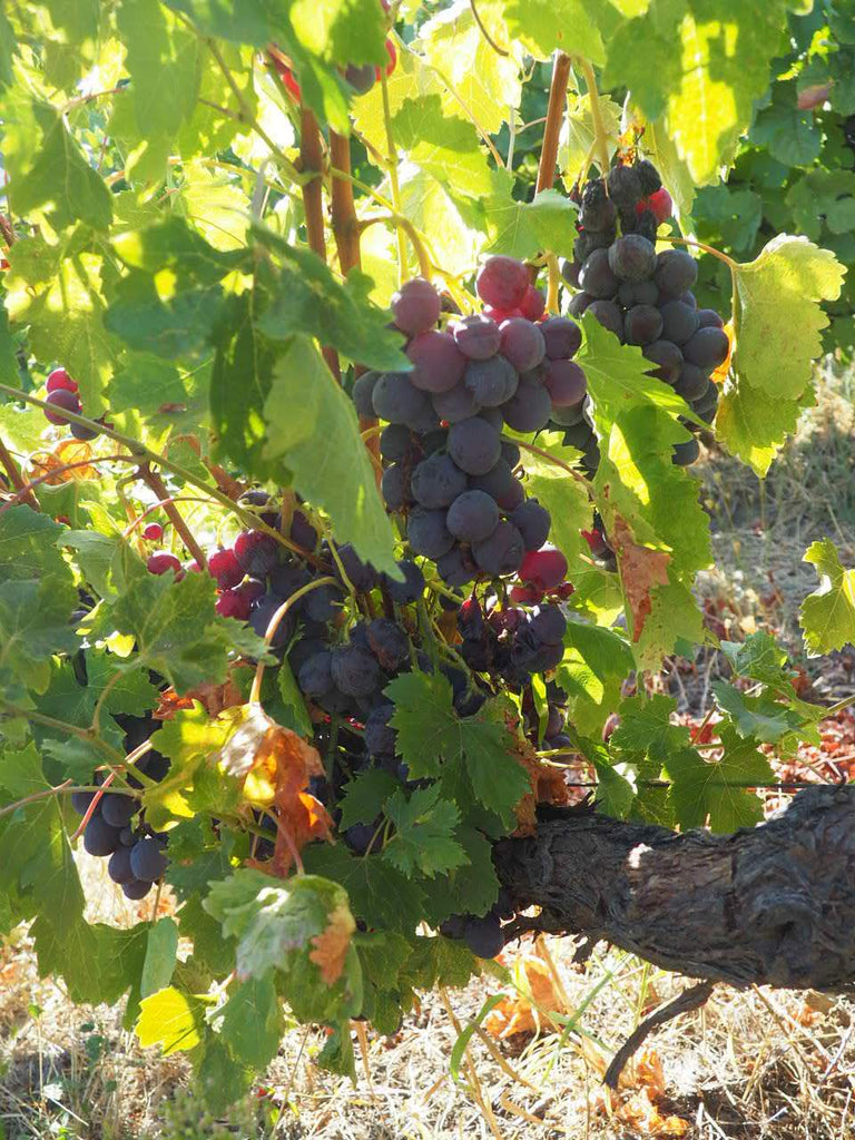 Commonly used red grapes | Real Portuguese Wine