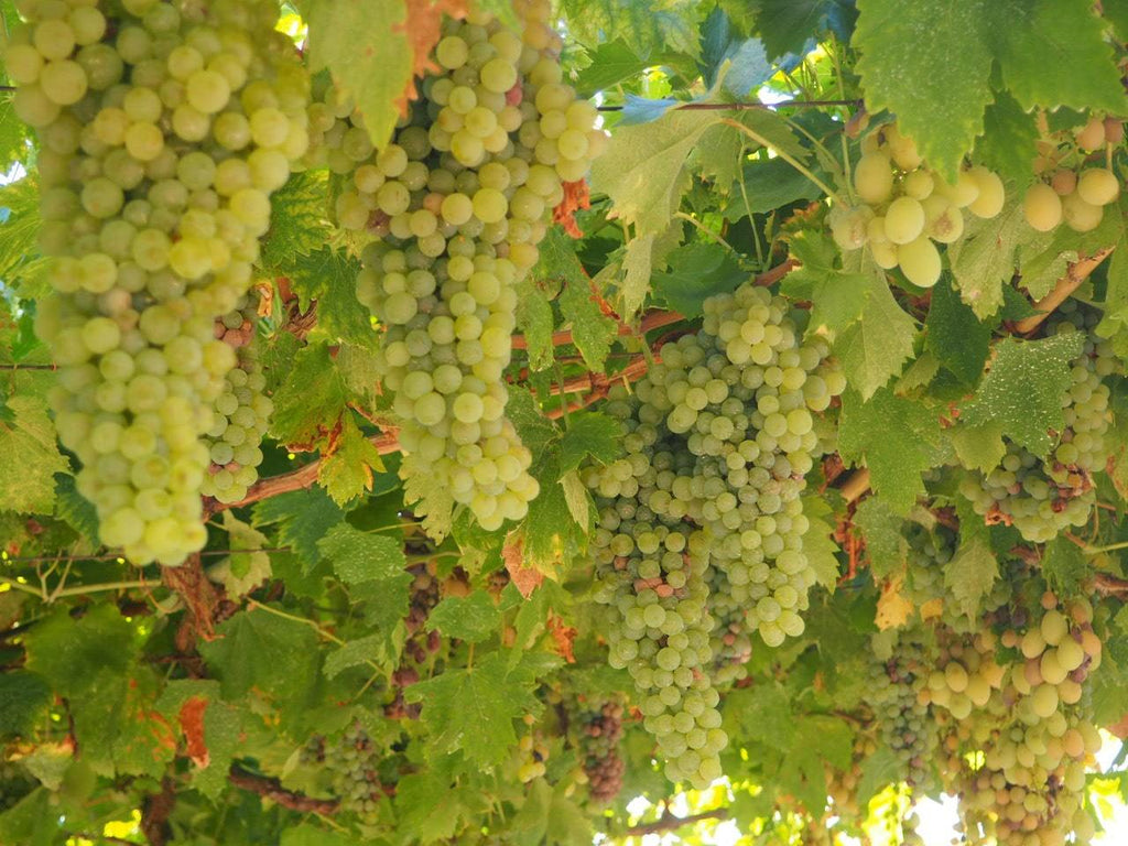 Commonly used white grapes | Real Portuguese Wine