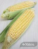 SEEDS SWEET CORN EARLY CHIEF