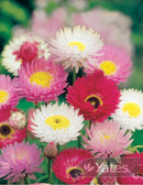 SEEDS DAISY EVERLASTING MIX HYBRID