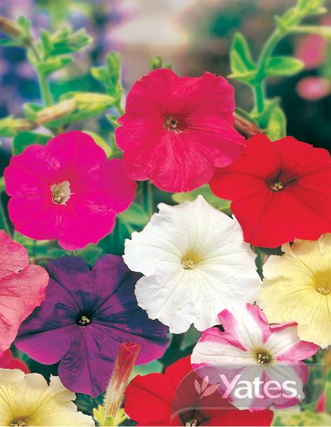SEEDS PETUNIA SUPER COLOUR PARADE