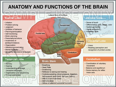 Anatomy and Functions of the Brain