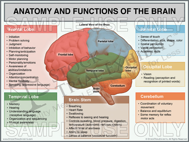 Brain Anatomy And Functions Trial Exhibit Stock Trial Exhibits