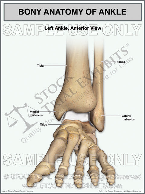 normal anatomy of the left ankle stock medical illustration trial exhibit