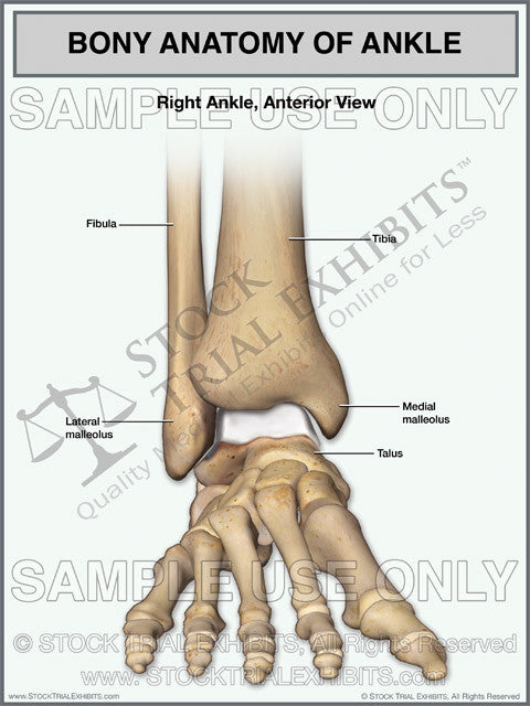 Bony Anatomy Of The Right Ankle Stock Trial Exhibits