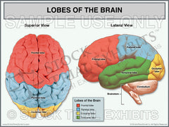 Lobes of the Brain Stock Trial Exhibit
