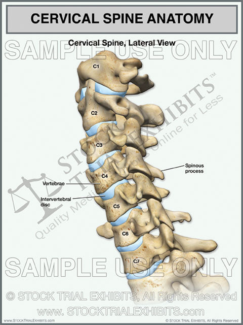 Cervical Spine Anatomy Lateral View Stock Trial Exhibits