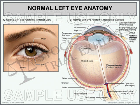Normal Eye Anatomy Trial Exhibit - Left Eye