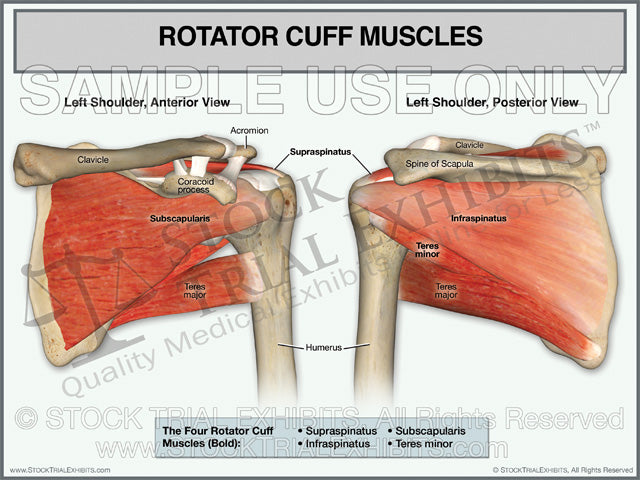 Rotator Cuff Muscles of the Left Shoulder – Stock Trial Exhibits