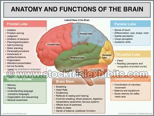 brain_anatomy_and_functions