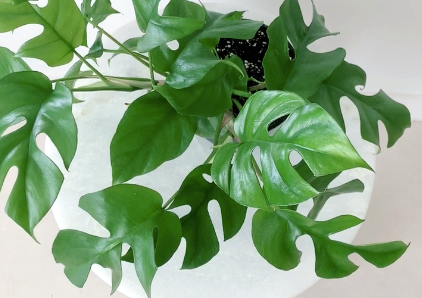 How to Care for Your Rhaphidophora tetrasperma (aka Monstera Ginny)