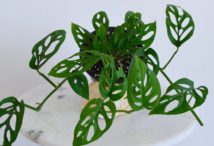 Swiss Cheese Plant Profile: Guide to Monstera adansonii