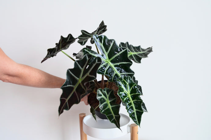 Alocasia Polly: Detailed Care & Facts