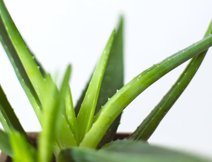 How to Harvest Your Aloe Vera (Plus 2 Convenient Uses!)