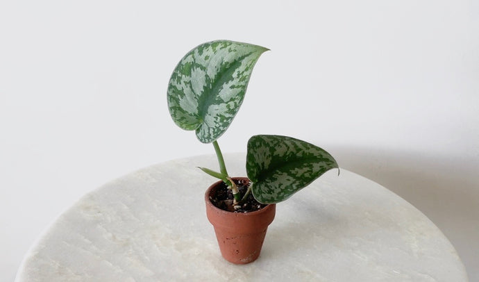 How to Propagate Your Indoor Plants Via Cuttings