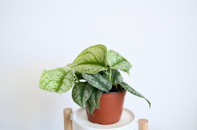 Silver Satin Pothos: An 'About Me' Guide With Care & Details