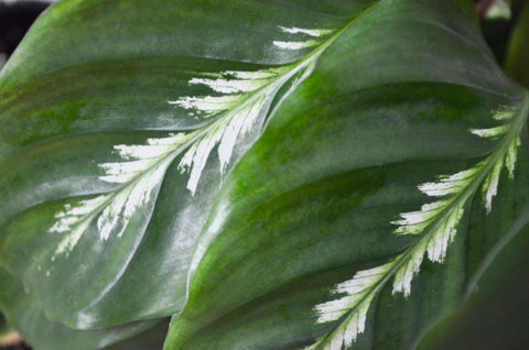 close up of calathea maui queen plant