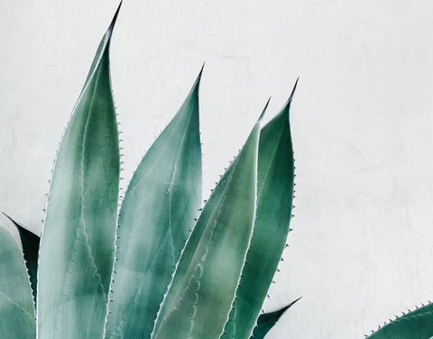 large outdoor aloe plant