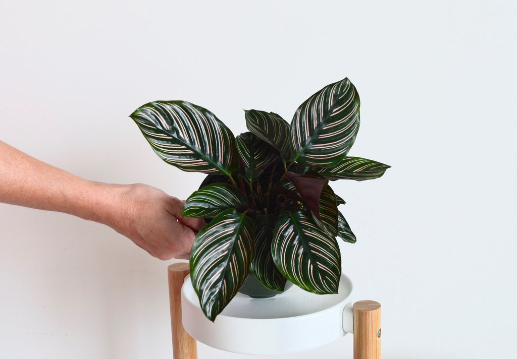 Calathea Ornata In Depth Guide Care Facts About The Pinstripe Plant Outside In