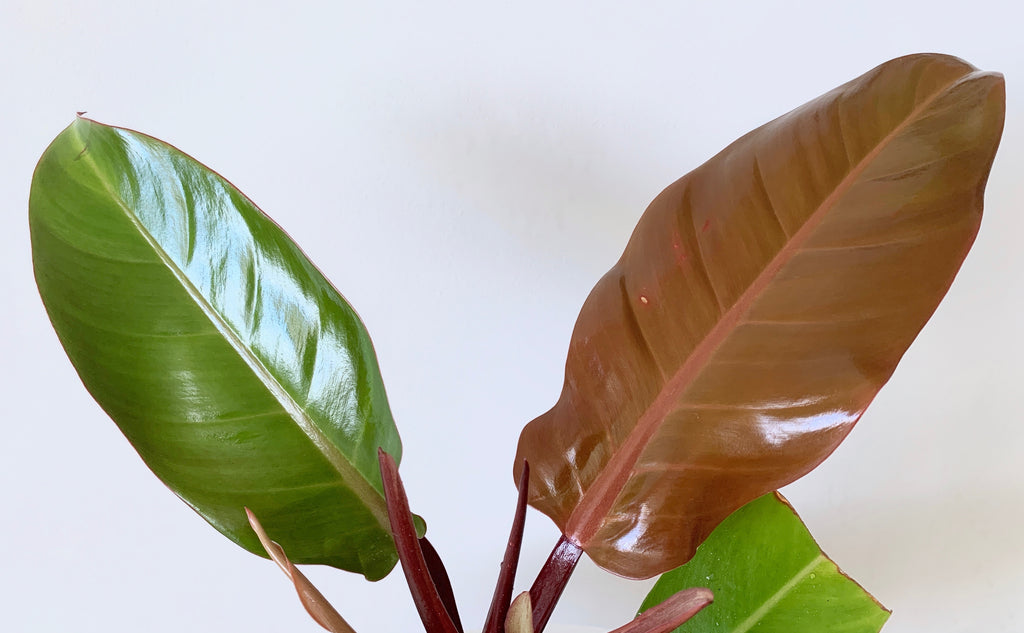 glossy green and orange houseplant leaves