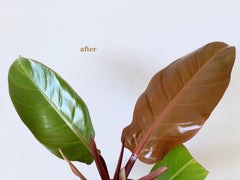 philodendron after leaf shine