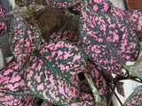 pink polka dot plant outside in