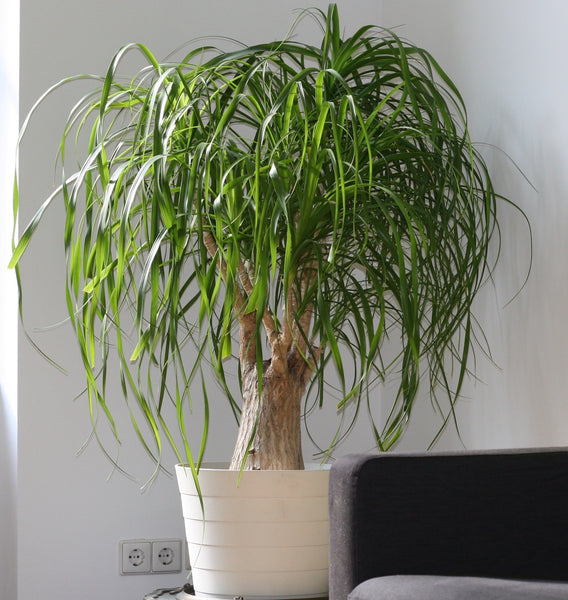 ponytail palm easy to care for
