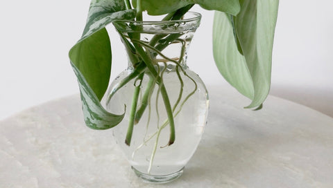silver satin pothos roots