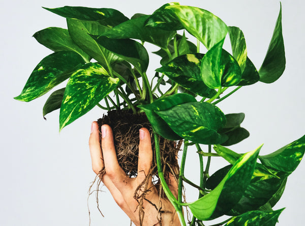 pothos soil and roots