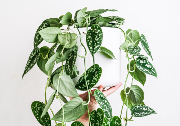 repotted satin pothos houseplant