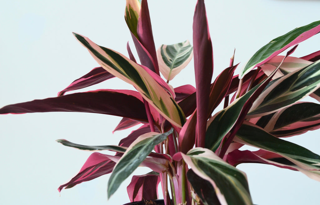 pink stromanthe prayer plant