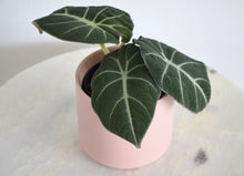 "Load image into Gallery viewer, Alocasia Black Velvet (4"")"