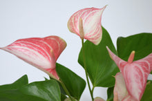 Load image into Gallery viewer, anthurium pink variegated